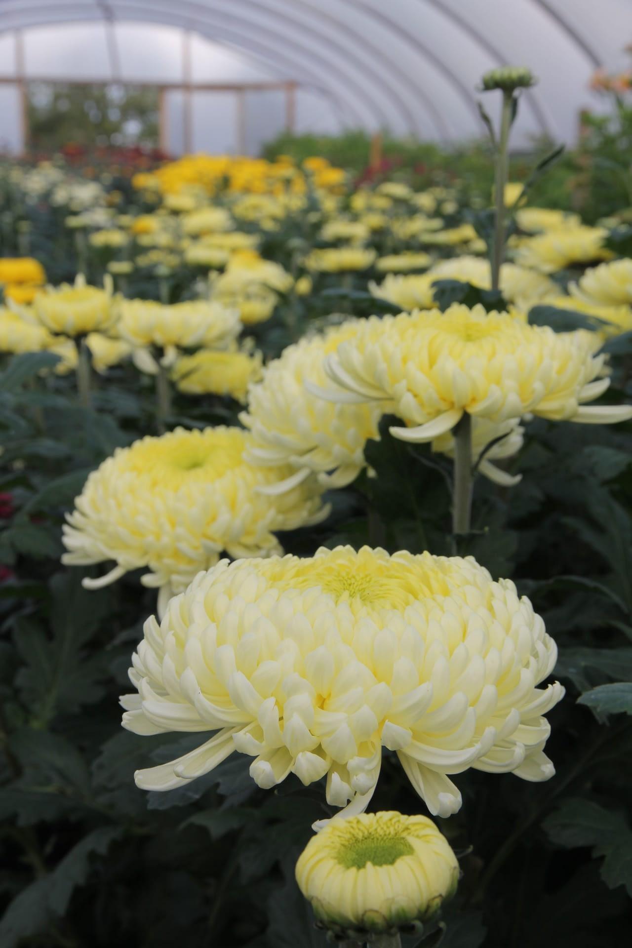 Bloom Chrysanthemum